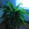 szobapáfrányom