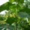 Császárfa és a smaragdfa