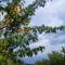 Kajszi fák