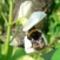 babvirág-dongóval