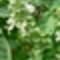 bazsalikom-virág