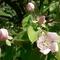 birsalma-virága