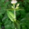 borsosmenta-virág