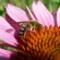 Echinacea purpurea/bíbor kasvirág