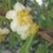 kiwi-virága