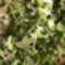 majoranna-virág