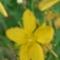 orbáncfű-virág-pókkal
