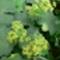 palástfűvirág