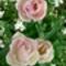 rózsa-tulipánok