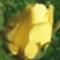 sárgarózsa