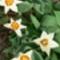 tulipán fehér, korai