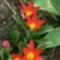 tulipán-piros