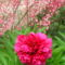 Bordó pünkösdi rózsa