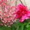 Szegélyvirág(évelő) hosszú szárú apróvirágos