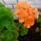 A narancssárga Muskátli még szép