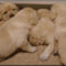 NormaJeanPuppies3wks1
