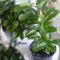 Fehér kaktusz bimbósan