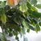 Kaktusz bimbósan2