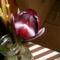 Fekete tulipán, amit sajnos megttek vassiaznók