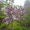 005 Orgona virágzás