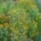 Sáfrányos rézvirágok