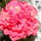 Kínai rózsa2