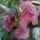 Dupla rózsaszín mandevilla (chilei jázmin)