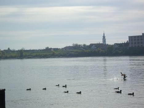 vadkacsák a Dunán
