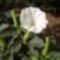 Egynyári tölcsérvirág