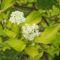Fehér som Cornus_alba_