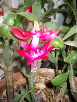 Karácsonyi_kaktusz_-ciklámen