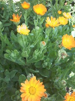 Körömvirág - c. sárga