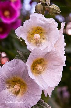 Mályvaózsa -szimpla rózsaszín