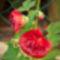 mályvarózsa - szimpla piros