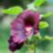 Mályvarózsa - Szimpla, sötétbordó