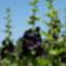 mályvarózsa - szinte fekete