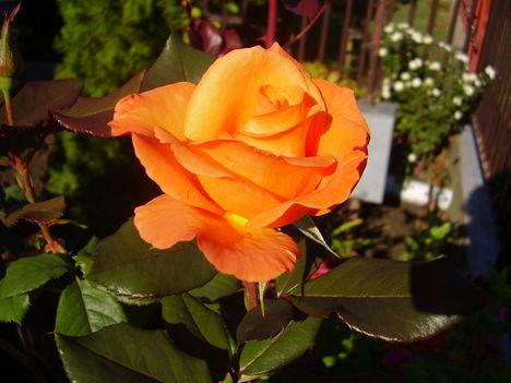 Rózsa Borostyán színű