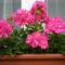 rózsamuskátli-tömött félfutó
