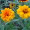 Sáfrányos rézvirágok 14