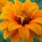 Sáfrányos rézvirágok 15