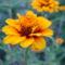 Sáfrányos rézvirágok 16