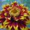 Sáfrányos rézvirágok 17