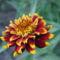 Sáfrányos rézvirágok 19