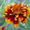 Sáfrányos rézvirágok 1