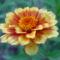 Sáfrányos rézvirágok 22