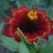 Sáfrányos rézvirágok 4