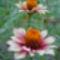 Sáfrányos rézvirágok 6