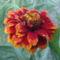 Sáfrányos rézvirágok 7