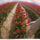 Tulipán nőnapra