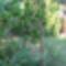 Túlkoros termő déligyümölcs, 2 m. felett 2